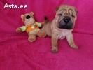 Два милых щенка шарпея