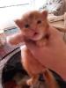 Готовы к бронировпнию чистокровеые котята мейн кун